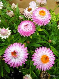 Choose Drought-Tolerant Annuals: 'Dreamtime Jumbo Light Pink' thrives in a sunny, dry location