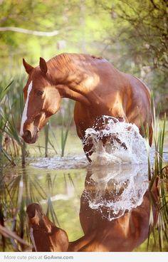 Paard in water, spiegeling. paarden zijn he tmooist zonder bridel