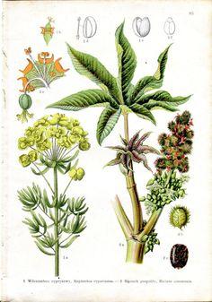 1900 BOTANICAL Euphorbia Spurge Castorbean Antique Print | eBay