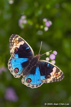 Blue Pansy butterfly. ~via Save our Green page, FB
