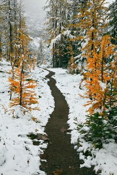Autumn Subalpine Larches along Trail in Yoho National Park, Canada.  Photo: Lee Rentz, via Flickr