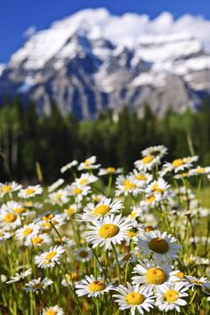 Daisies at Mount Robson provincial park, Canada - Daisies blooming at Mount… Sunflowers And Daisies, Meadow Flowers, Wild Flowers, Beautiful Places To Visit, Beautiful World, Nature Pictures, Beautiful Pictures, Parks Canada, Great Photos