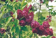 Agincourt Beauty Lilac  by Nature Hills Nursery