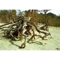 Знаменитые ходульные деревья в бухте Песчаная