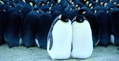 Penguin – Facts and Pictures Penguin Parade, Penguin Love, Cute Penguins, King Penguin, Carolina Do Sul, Penguin Facts, March Of The Penguins, Boredom Busters, Great Movies