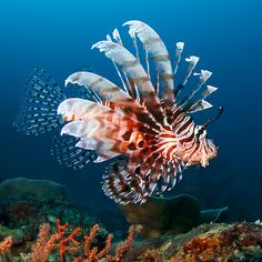 """Lionfish - my favourite of what I had besides the Queen Trigger. He had a great personality. Loved to spit water all over the floor if the lid was off the tank. Not so fun. Never did find out where his """"eyebrows"""" went. LOL"""