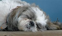 Gibby the Shih Tzu. Looks like my Snuggles.