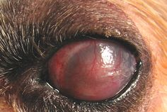 Ocular blastomycosis can cause instant blindness in a dog