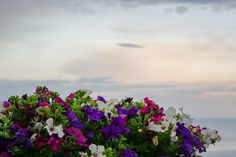 The garden of Villa Cimbrone has a lot of flowers. Among them, we can see how gentle is placed the pot of petunia flowers having the sea behind it. Positano, Amalfi Coast, Petunias, Canning, Places, Garden, Flowers, Pictures, Positano Italy