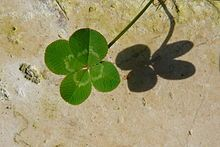 Weed - White Clover - Basic Good Luck Clover, Lawn Turf, Natural Farming, Four Leaves, Lucky Day, Happy St Patricks Day, Four Leaf Clover, Kit Homes