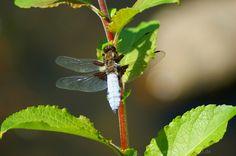 eine Plattbauchlibelle am Zweig