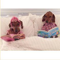 Dachshund Ma and Pa Funny Dachshund, Dachshund Puppies, Dachshund Love, Funny Dogs, Cute Puppies, Cute Dogs, Dogs And Puppies, Daschund, Animals And Pets