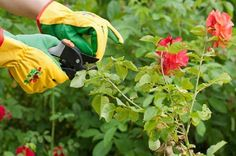 Your Official Guide on How to Prune Roses Floribunda Roses, Shrub Roses, Ground Cover Roses, Pruning Roses, Ground Covering, Hybrid Tea Roses, Rose Bush, Blooming Rose, Climbing Roses