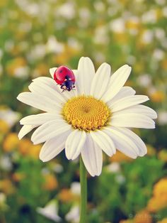 Ladybugs and daisy Cute Wallpaper Backgrounds, Nature Wallpaper, White Flowers, Beautiful Flowers, Best Photo Poses, Daisy Love, Beautiful Bugs, Back Gardens, Creative Photography