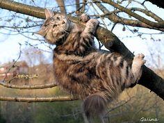 kurilian! Manx, Cats, Manx Cat