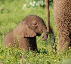 Baby elephant holding mom's tail.