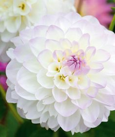 A really eye-catching variety, Dahlia 'Eveline' features magnificent creamy-white flowers kissed with soft lilac at their center and toward the tips of the petals.