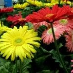Gerber daisies indoors