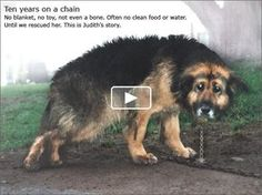 Watch this NOW I don't care if your busy, watch it. This is the story of a dog who was chained for TEN YEARS. Her recovery new owners and all. NOW WAYCH IT. It made mercy