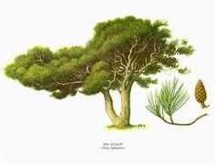 1967 Pin d'alep. Planche Botanique Arbres Forets Coniferes Histoire Naturelle Dendrologie