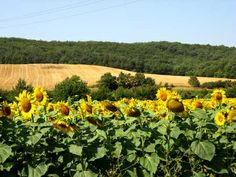 sunflowers in the Razes, Aude, Fance