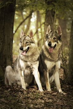 The Alpha of All Dogs: Czechoslovakian Wolfdog or Vlcak Horses And Dogs, All Dogs, Dogs And Puppies, Military Working Dogs, Military Dogs, Wolf Dogs For Sale, Wolf Dog Breeds, Wolf Hybrid Dogs, Wolfdog Hybrid