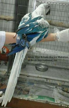 Silver-blue and gold macaw mutation