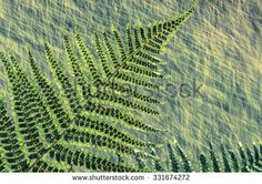 Green fern plants in the forest during summer rain/refreshing summer rain/fern in the forest - stock photo
