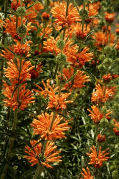 Lion's tail is a South African plant that needs little water and blooms with bright flowers that feel like fur... Perfect for Texas weather! And perfect for my front yard!