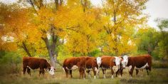 Hereford Cattle in Beautiful Fall Foliage  by ShonsPhotography, $50.00