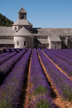lavender field and the Abbaye de Sénanque, France