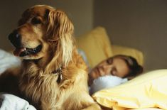 The second most popular dog in America, according to American Kennel Club statistics, is the Golden Retriever. Sleep On The Floor, Dog Ramp, Sleeping Dogs, Large Dogs, Dog Owners, Fleas, Dog Bed, Pet Dogs, Wiener Dogs