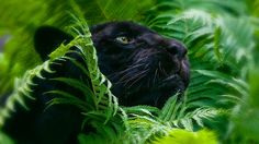 panther, grass, big cat - http://www.wallpapers4u.org/panther-grass-big-cat/
