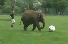 This baby elephant hasn't quite grasped football yet