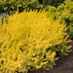 Barberry - For more info: http://www.gardeningknowhow.com/ornamental/shrubs/barberry/barberry-shrub-care-tips.htm