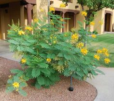 Mexican Bird of Paradise Picture - Easy Desert Shrubs and Bushes - Yellow Bird of Paradise Photo 07