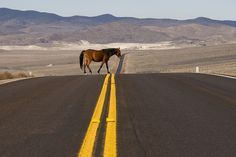 Horse Xing ( free range horse wandering through the Nevada desert) by dirk huijssoon, via Flickr
