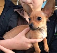 Meet Agatha, a Petfinder adoptable Chihuahua Dog | Chattanooga, TN | NEW ARRIVAL!!!! WILL POST BIO AS ASAP!!!!