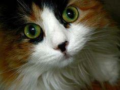 Cookiecat Green Eyes by Sage, via bestpicturesofcats.com