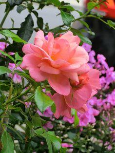 Rose Aprikola