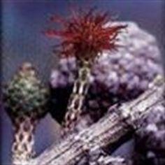 Picture of She Oak Australian Bush Flower Essence