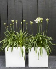 Black vertical wood fence,white cube planters, white agapanthus, cube down lighters. Four simple elements well balanced for strong visual impact White Gardens, Small Gardens, Outdoor Gardens, Outdoor Plants, Indoor Outdoor, Contemporary Planters, Modern Planters, White Planters, Garden Planters