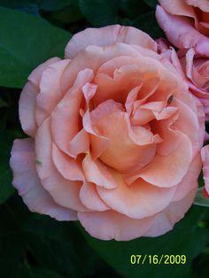 Sunset Celebration roses from my garden
