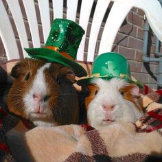 Our CEO Puppy the Guinea Pig (left) and Quality Control Inspector Timmy Hoodwin (right) celebrating St. Patrick's day!