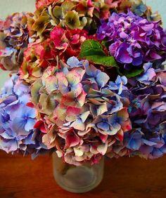 multi-color hydrangea