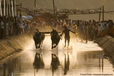 Kambala Racing in India. Photo by Stuart Forster.