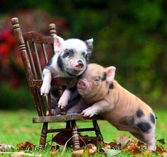 Galería de cerdos tiernos | Tus Burradas