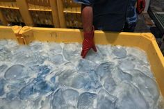 Quallen in einem Müllcontainer in Israel: Erst kürzlich legten Quallen ein...