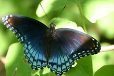 https://flic.kr/p/8m2C8S | Spicebush Swallowtail Dreamland | The Spicebush Swallowtail is found only in the Eastern US and extreme southern Ontario.  While it is the state butterfly for Mississippi, we were surrounded by them at the Great Smoky Mountains National Park in TN.  This one must be female due to its iridescent blue.  The males are bright green.