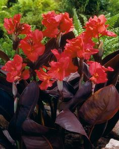 Bright pink lily-style flowers against a background of burgundy bronze foliage and stems seems almost too good to be true. Canna Rose Futurity can give you just that - a completely different colour combination that will stand out when planning your garden landscape. Her gorgeous deep pink blooms stand out in clusters atop long spikes that lift them over the dark foliage, bringing to your garden the exotic image of the tropical and subtropical lands that were once this plant's home. A dwarf…